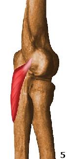 m. anconeus hecht aan de epicondyle lateralis van de elleboog